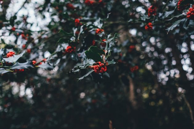 holly-berries-1082138_960_720